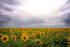 Sunflower field Royalty Free Stock Image