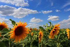 Sunflower field. Sunflower filed underneath a blue summer sky with clouds. HDR image Stock Images