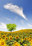 Sunflower field. Spring landscape with sunflower field Stock Images