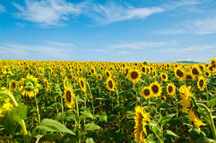 Sunflower field. Vİew of a sunflower field Royalty Free Stock Images