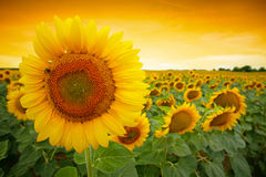 Sunflower field. With dramatic sunset