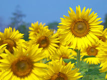 Sunflower field. With out of focus background and foreground Stock Photos