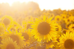 Sunflower field Stock Photography