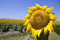 Sunflower on the field. Sunny blue summer sky Stock Photo