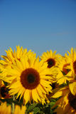 Sunflower field. Against blue sky Stock Photos
