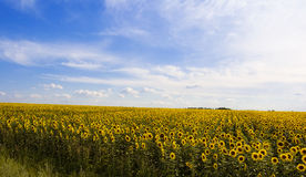 Sunflower Field. Sunflower and the blue sky royalty free stock image