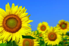Free Sunflower Field Royalty Free Stock Photos - 2937658