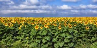 Free Sunflower Field Stock Image - 34387261
