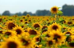 Free Sunflower Field Royalty Free Stock Photos - 3585708
