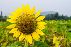 Sunflower. A sunflower in the field Royalty Free Stock Images