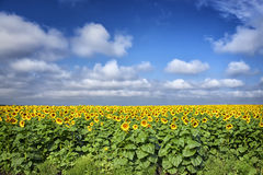 Sunflower Field. A wide view of a sunflower field Royalty Free Stock Photos