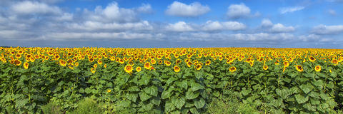 Sunflower Field Stock Photos