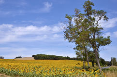 Sunflower field. Sunflower (Helianthus annuus) field and tree in France in the Tarn department, Midi-Pyrénées region Stock Photography