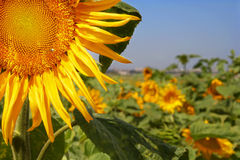Sunflower on a field Royalty Free Stock Photos