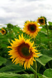Sunflower field royalty free stock images