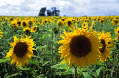 Sunflower field. Cloudy sky royalty free stock photo