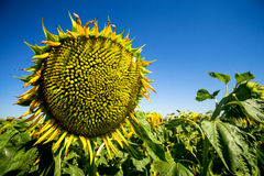 Sunflower in the field. A sunflower in the field Royalty Free Stock Photography
