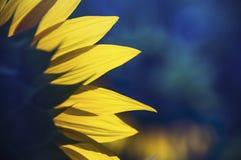 Free Sunflower Field Stock Image - 42442041