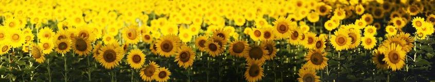 Free Sunflower Field Stock Photography - 42732292