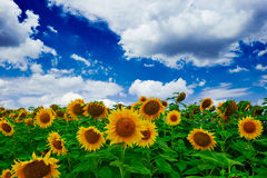 Free Sunflower Field Royalty Free Stock Image - 42808586