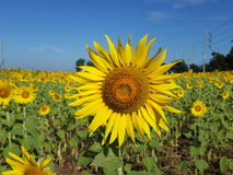 Sunflower. A field of sunflower Stock Images