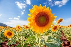 Sunflower. On field Stock Photography