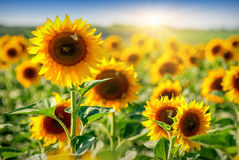 Sunflower_field 3 库存照片