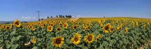 Sunflower field. A panoramic view of a sunflower field stock photography