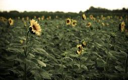 Free Sunflower Field Stock Photo - 57924250