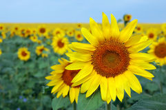 Sunflower field. Over blue sky Stock Photography