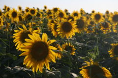 Sunflower field 6. Wideness sunflower field, riverside of Yellow River, inner mongolia, China Royalty Free Stock Photos