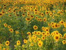 Sunflower  in the field. Sunflower in the field  field Royalty Free Stock Image