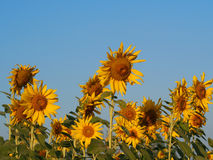 Sunflower  in the field. Sunflower in the field  field Stock Images