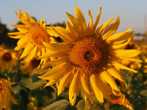 Sunflower  in the field. Sunflower in the field  field Royalty Free Stock Photography