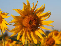 Sunflower  in the field. Sunflower in the field  field Stock Image