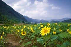 Sunflower field Stock Photography