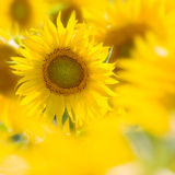 Sunflower in a field. Individual sunflower standing out a field Royalty Free Stock Photo