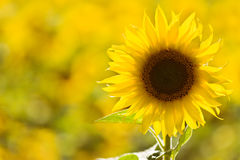 Sunflower in a field. Individual sunflower standing out a field stock image
