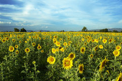 Sunflower field. In Saraburi Thailand royalty free stock images