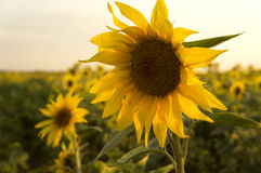 Sunflower field. With  sunflower Stock Photography