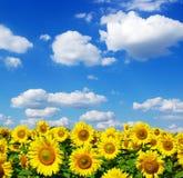 Sunflower field stock photo