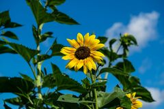 Sunflower in field Stock Images