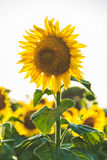 Sunflower on field Stock Image