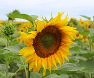 Sunflower on a field Stock Images