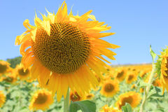 Sunflower in the field Royalty Free Stock Photos