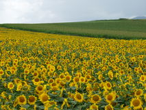 Sunflower Field. With another green field in distance Royalty Free Stock Photos