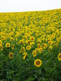 Sunflower Field. Which formed a horizon from far Stock Images