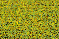 Sunflower field from above Royalty Free Stock Images