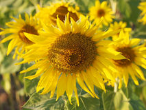 Sunflower. Field on the affternoon Royalty Free Stock Photography