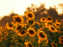 Sunflower. Field on the affternoon Royalty Free Stock Photo